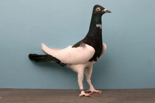 Мальтийский почтовый голубь