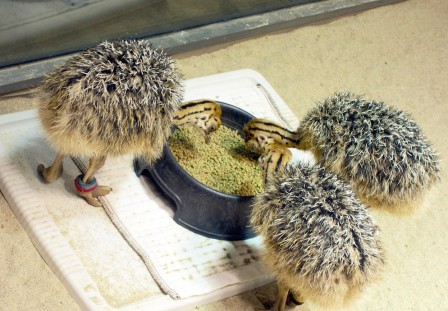 Мешанка для страусят должна быть мелкой