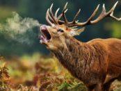Благородный олень в период гона