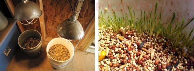 Проращивание зерна - дополнительные витамины