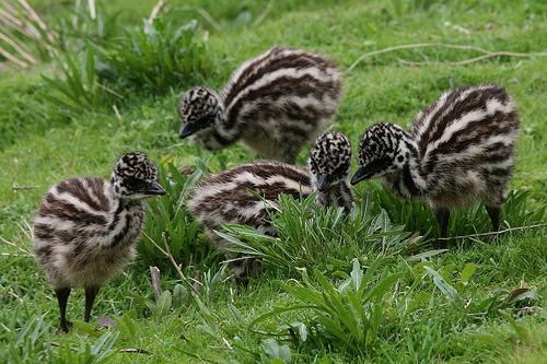 Птенцы эму на траве