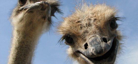 Разведение страусов - выгодное дело