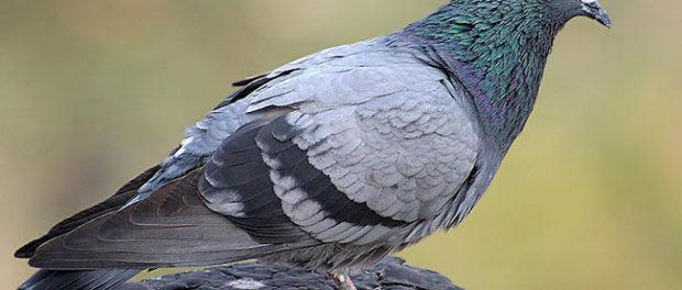 Сизый голубь - самый распространенный в Европе и Азии подвид