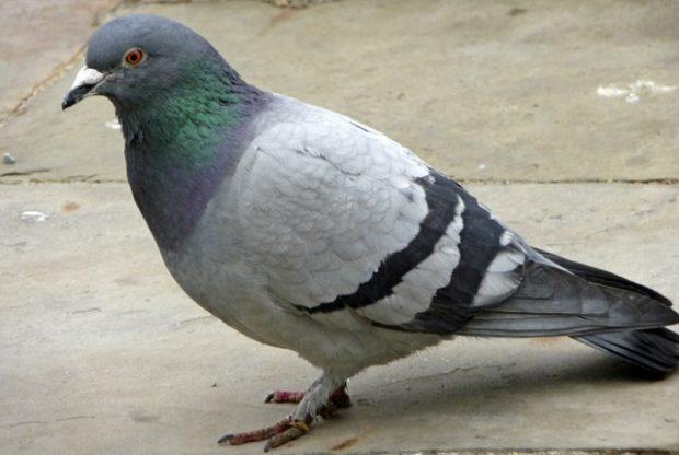Сизый голубь - самая распространенная порода