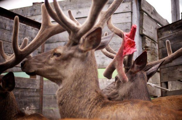 Сломанный пант - результат боя с другим оленем