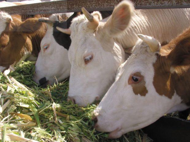 Сочные корма дают коровам в стойле
