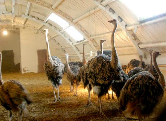 Содержание страусов зимой