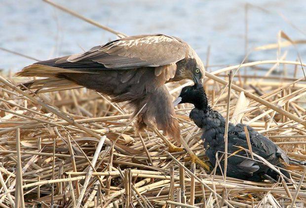 Враги голубей - хищные птицы