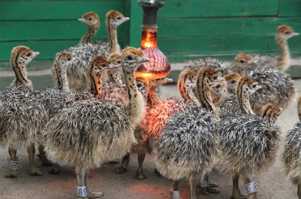 Помещение для страусят с обогревом