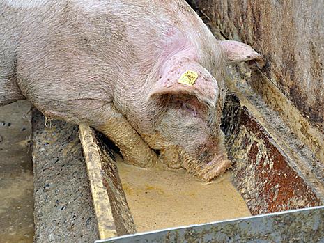 Суповая мешанка - свиньи постоянно грязные