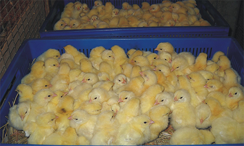 Суточные цыплята в продаже