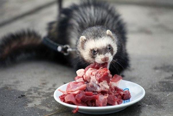 Хорьки - хищные животные, едят мясо