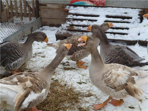 Тульские гуси относятся к бойцовским породам