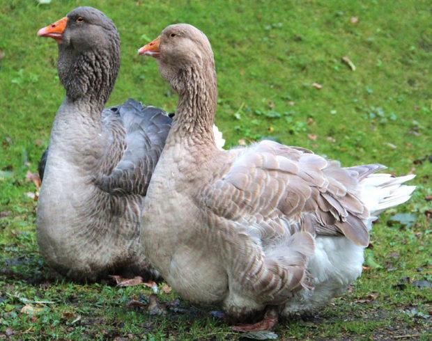 Тулузские гуси дают печень фуа гра