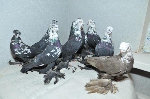 Узбекские бойные голуби бывают разных окрасов