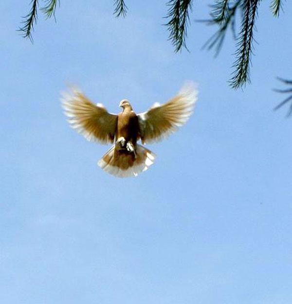 Зависание бойных голубей в полете