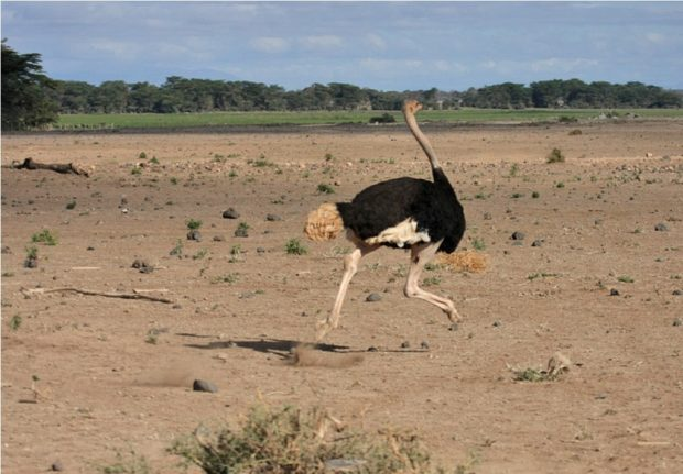 Самц африканского вида