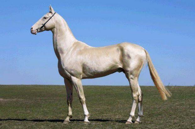 Лошадь линии Араба изабеловой масти