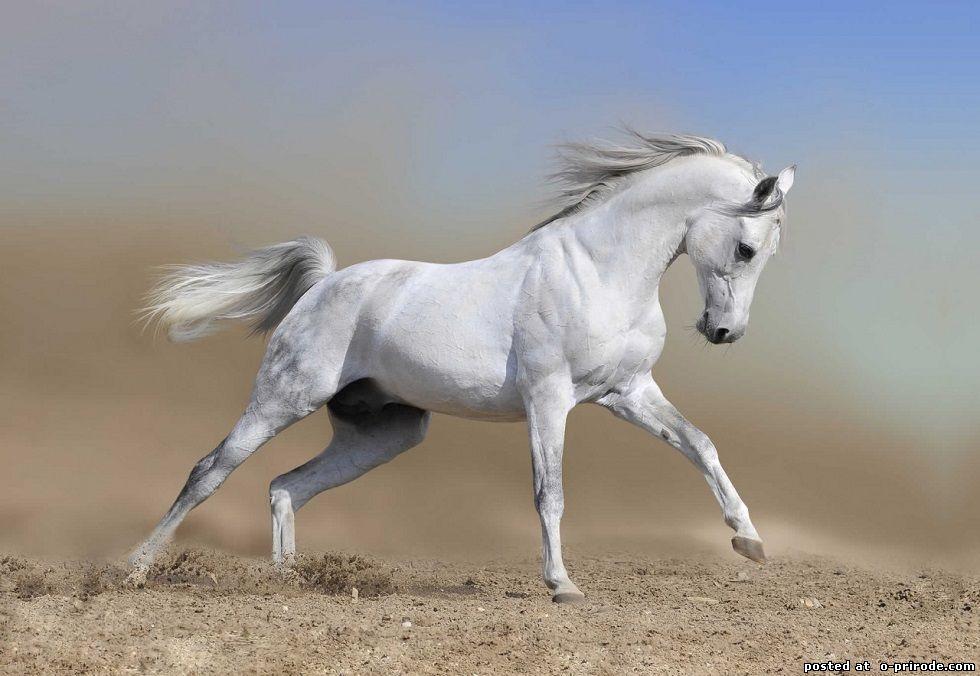 арабского скакуна фото
