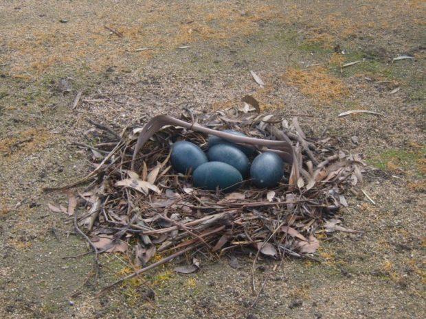 Гнездо Эму с яйцами