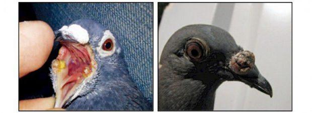 Болезни голубей опасны гибелью