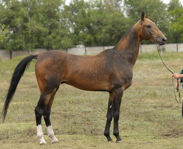 Буланая масть лошадей