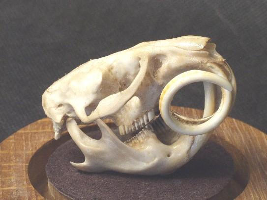 Череп ондатры с зубами