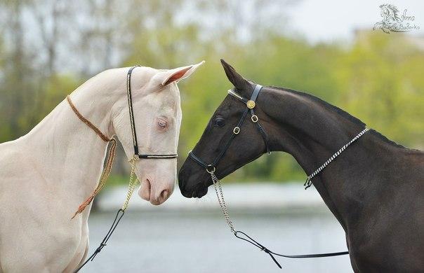 Черная и белая лошадь ахалтекинской породы