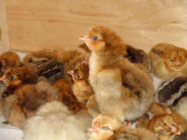 Цыплята кучинской породы кур
