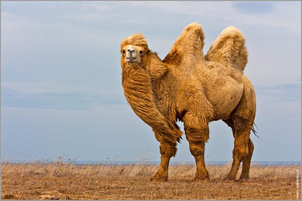 Двугорбый верблюд - бактриан