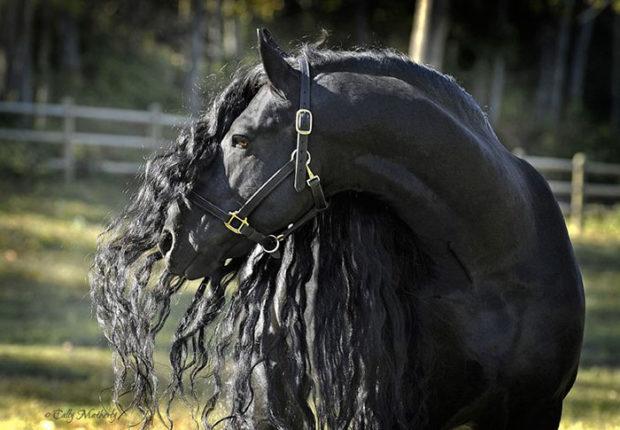 Красавец Фридрих Великий много раз был признан самым красивым конем мира