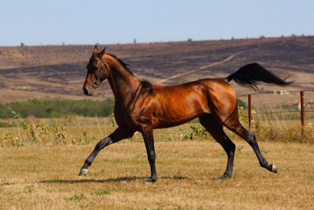 Галоп лошадей очень красив