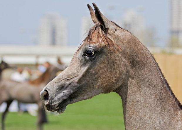 Голова лошади арабскойпороды