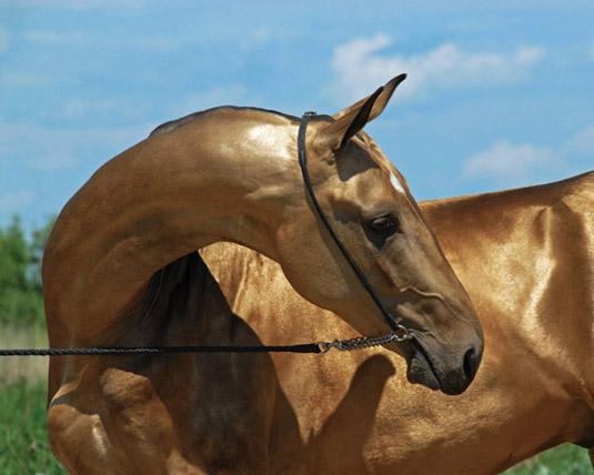Голова текинца - очень красивая лошадь
