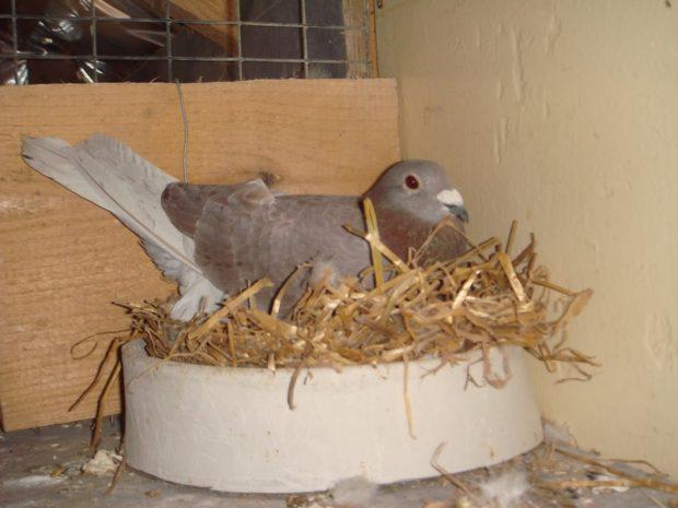 Высижывание яиц на гнезде