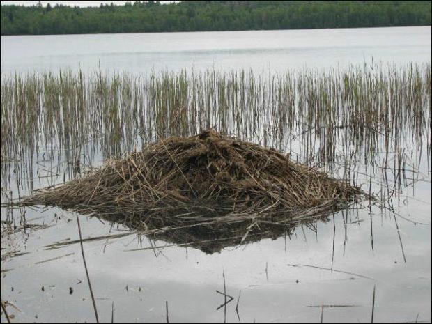 Хатка ондатр в водоеме