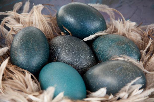 Яйца Эму имеют синий или зеленый цвет