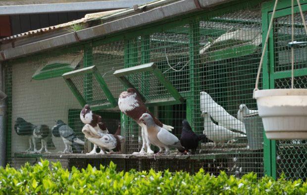 Капитальные клетки для голубей