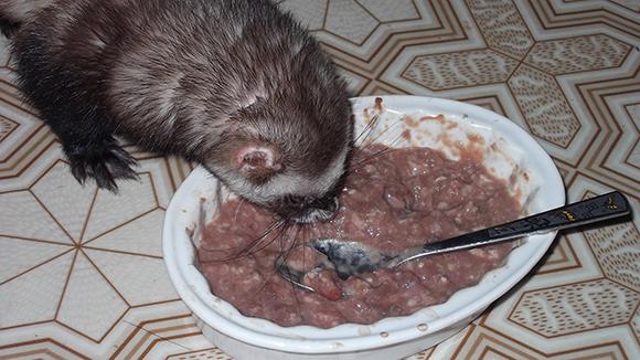 Фарш для хорьков - оптимальная еда