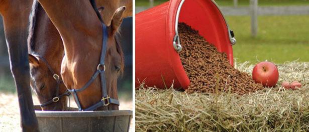 Кормление лошадей должно быть полноценным