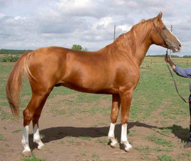 Экстерьер донской лошади. Жеребец Орбит
