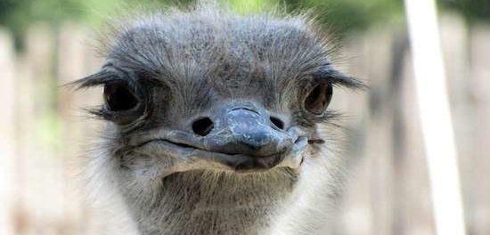Портрет страуса - красавец
