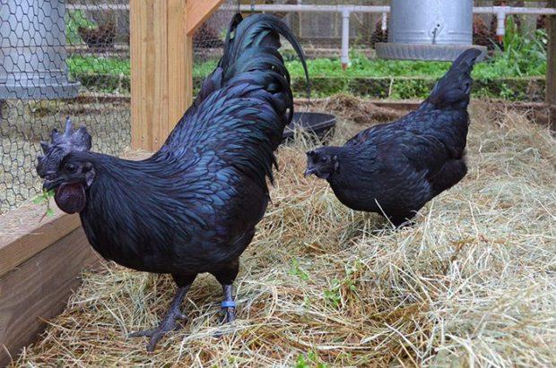 Яванские черные куры