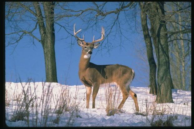 Лесной олень зимой питается веточками и сухой травой
