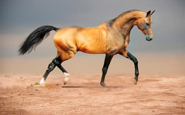 Лошадь кохейлан - сиглави -новая линия арабской породы