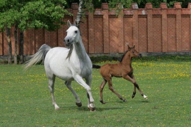 Разведение чистокровных лошадей - выгодный бизнес