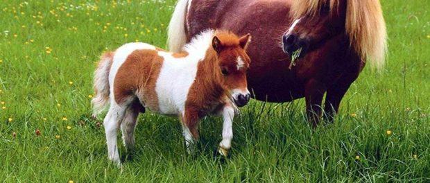 Лошадь пони с жеребцом