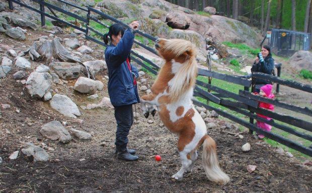 Лошадка фалабелльской породы из Южной Америки