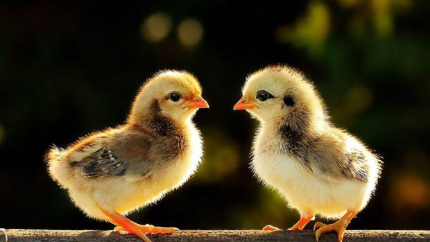 Цыплята породы Мастей Грей