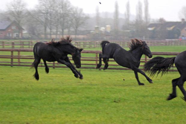 Молодые кони фриза резвятся